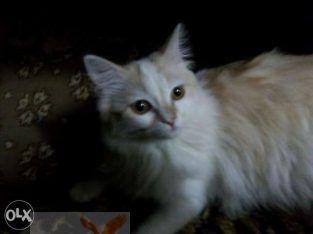 قطه شيراز