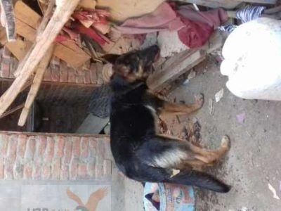 كلب جيرمن 6 شهور