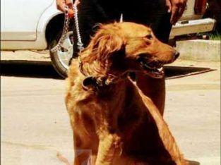 كلب جولدن الوان غامقه ب 1800 السعر قابل للتفاوض