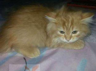 قط شيرازى مون فييس